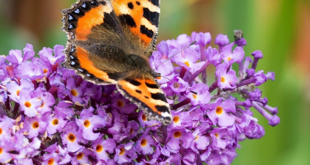 How to Plant Butterfly Bushes