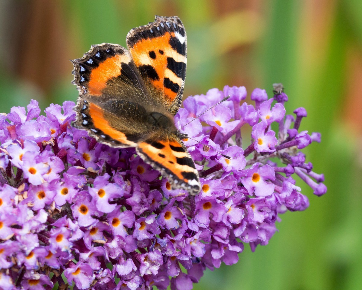 How To Plant Butterfly Bushes Plant Instructions