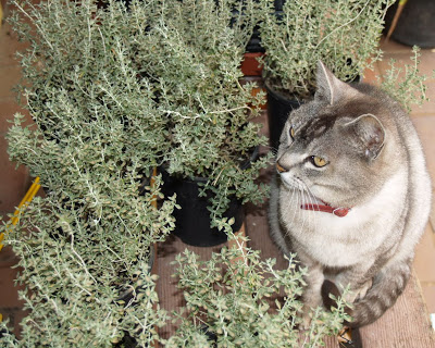 cat thyme