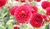 Planting Dahlia Bulbs & Dahlia Care