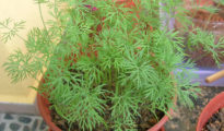 How to Grow Dill in Pots
