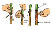 How to Graft Fruit Trees: The Four Flap Graft