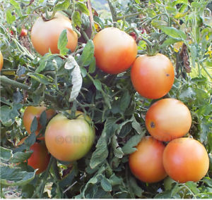How to Grow Long Keeper Tomatoes