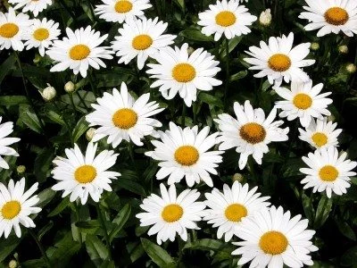 How to Plant Daisies
