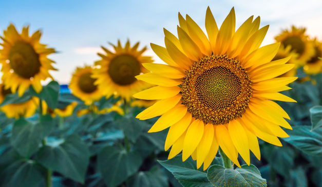 6 Tips for Growing Sunflowers