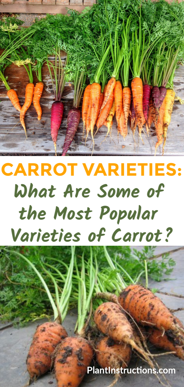 What are the most popular carrot varieties? There are literally hundreds but we\'re sharing the best ones to grow and why! #carrotvarieties #plantinstructions
