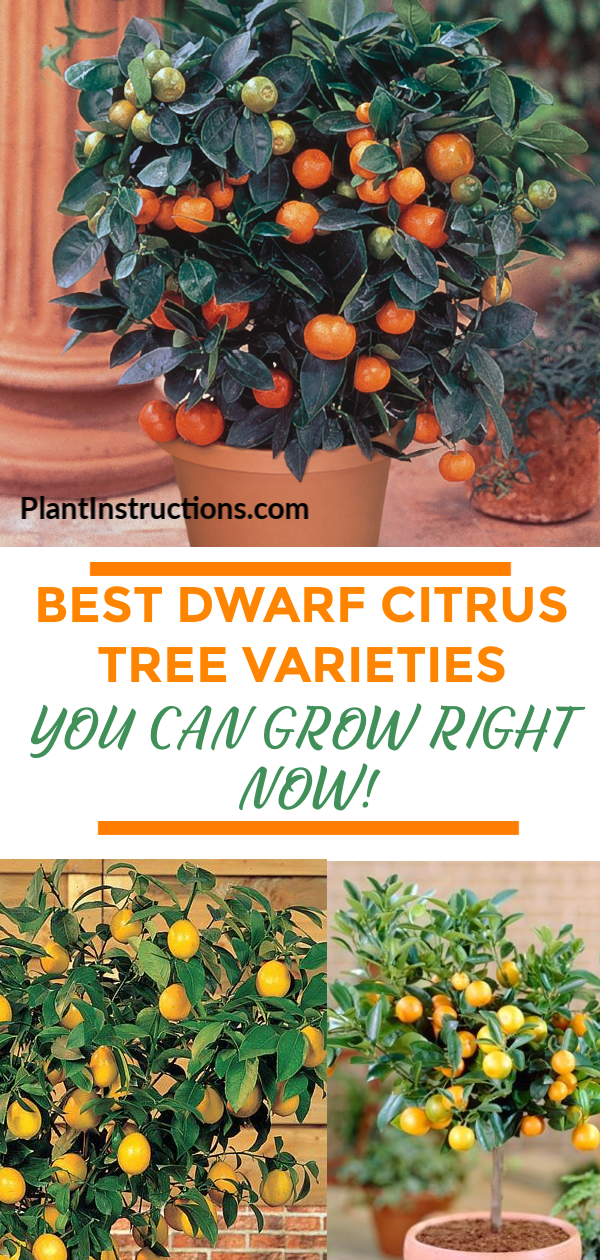 f you like the idea of growing your own fruits, you\'ll love these dwarf citrus trees that can be easily grown right in your backyard!  #dwarfcitrustrees #plantinstructions #dwarftrees