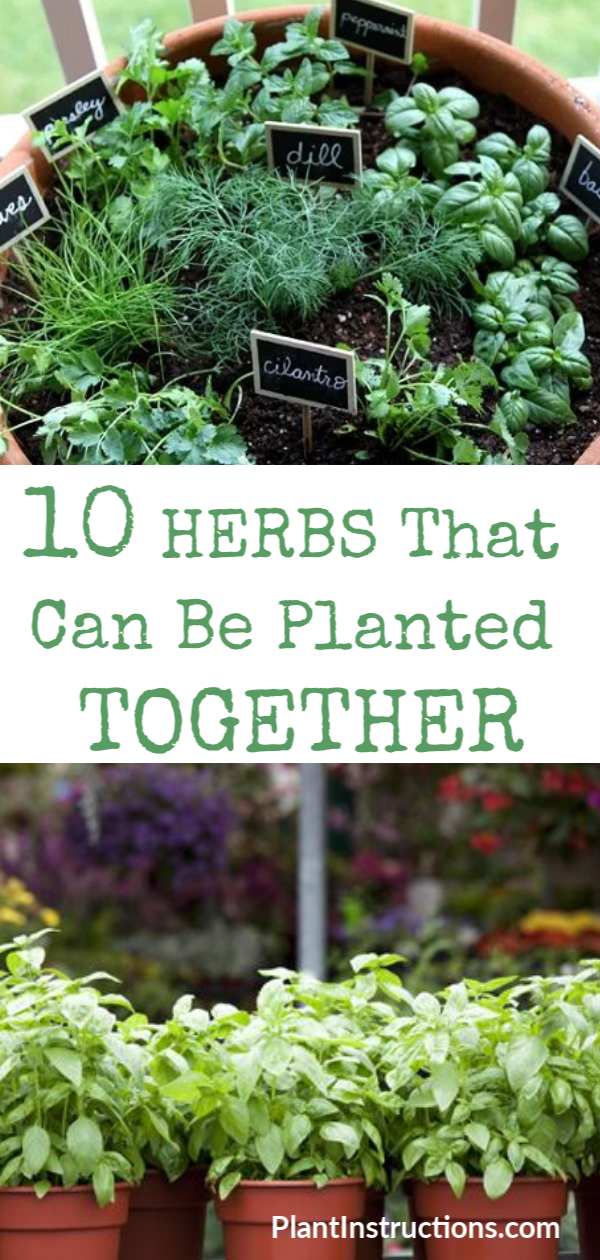 We've compiled a list of herbs that can be planted together so you don't have to keep guessing! These herbs thrive when planted together, not to mention that companion planting will also save you a ton of space! #companionherbs #plantinstructions #herbgarden