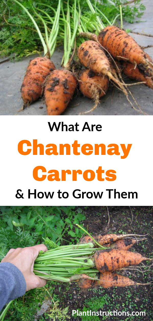 Learning how to grow Chantenay carrots is easy, and these carrots will reward you with a quick harvest time and a sweet taste! #chantenaycarrots #growingcarrots #plantinstructions