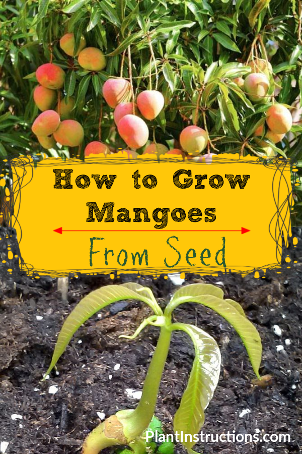 Everyone wants to know how to grow mango from seed, but is it actually doable, and if so, will it grow in your climate?  #growmangofromseed #plantinstructions