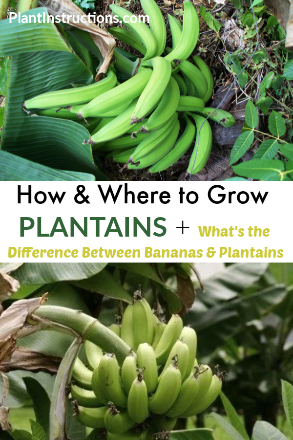 How to Grow Plantains