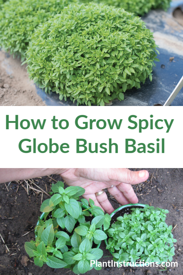 Spicy Globe Bush Basil
