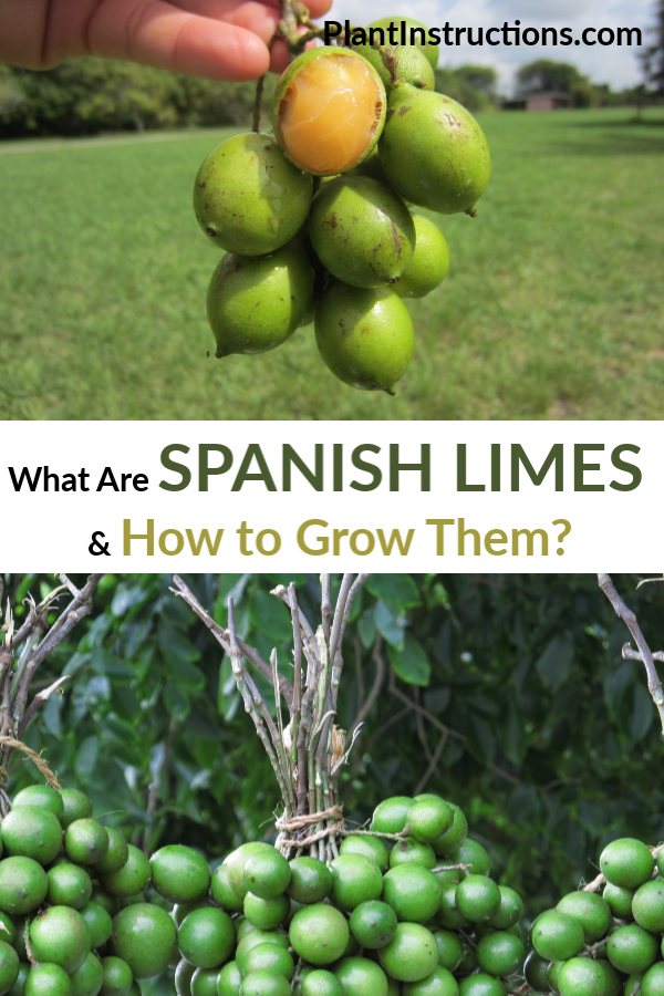 What Are Spanish Limes