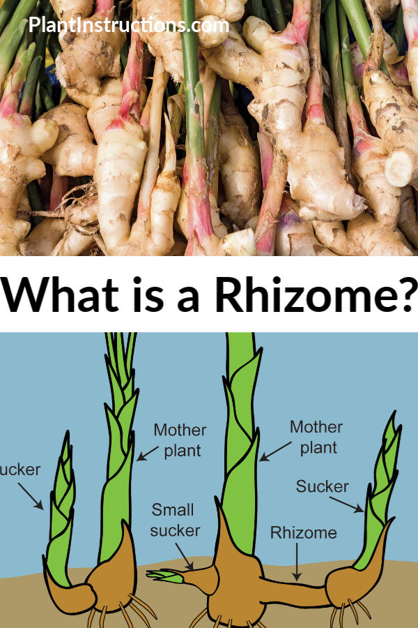 What is a Rhizome