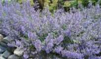 How to Grow Catmint