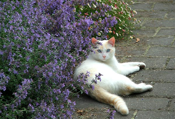 catmint plant and cat