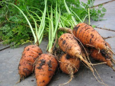 How to Grow Chantenay Carrots