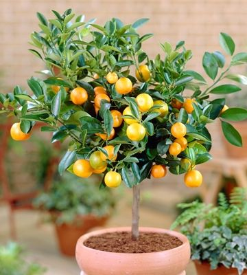 dwarf grapefruit tree