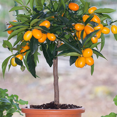 dwarf kumquat tree