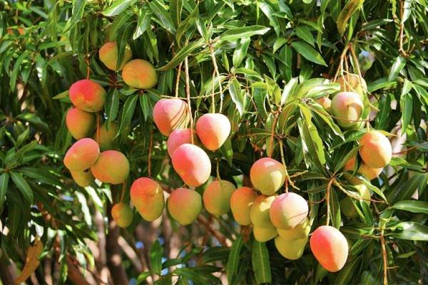 How to Grow Mango From Seed