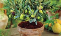 How to Grow Olive Trees in Pots