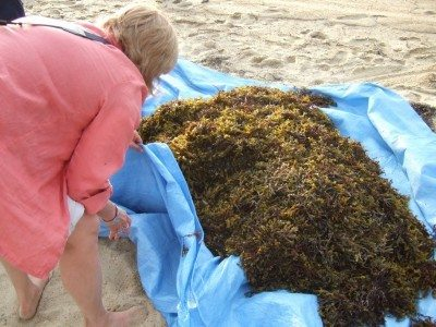DIY Seaweed Fertilizer