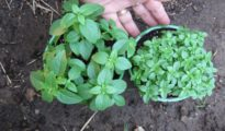 How to Grow Spicy Globe Bush Basil