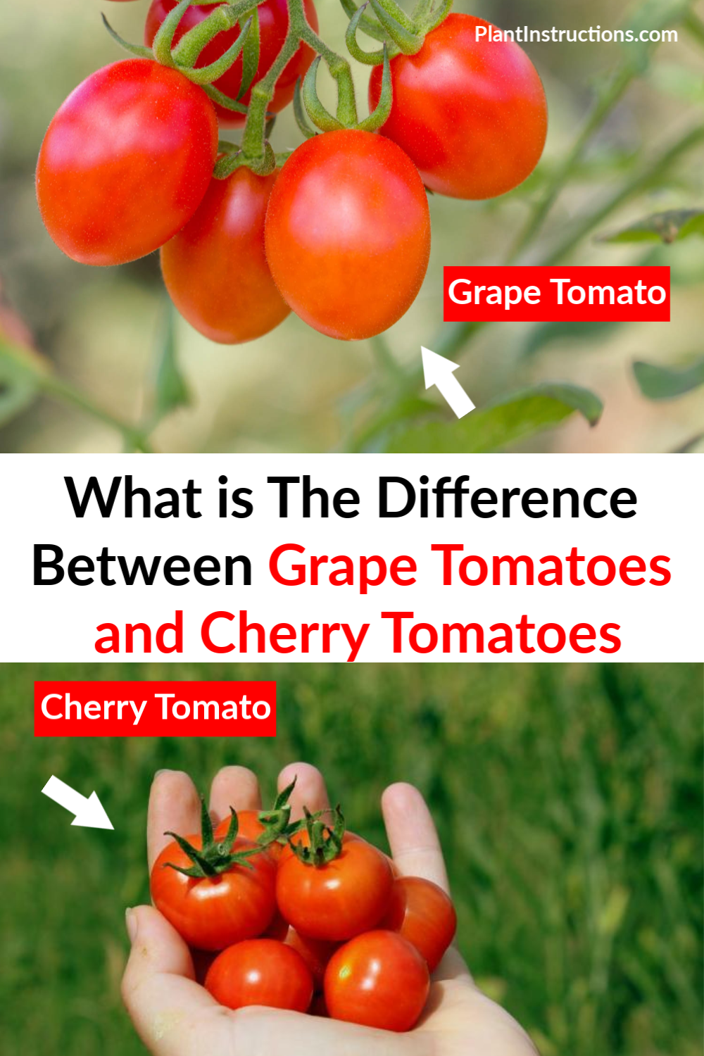 Both grape tomatoes and cherry tomatoes are delicious fruits you can grow at home, but what exactly is the difference between grape tomatoes and cherry tomatoes? #grapetomatoes #cherrytomatoes #plantinstructions