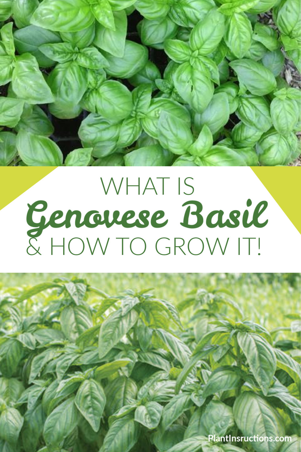 Never heard of Genovese basil before? You\'re not the only one! This less common known variety of basil originated in Italy and is popular due to its sweet and spicy flavor.  #genovesebasil #growingbasil #plantinstructions
