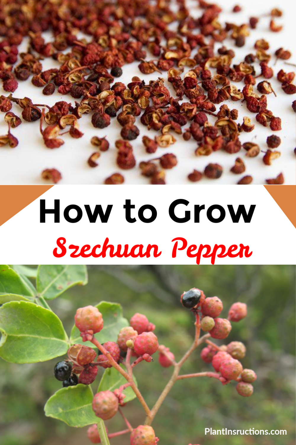 If you live in USDA zones 6 through 9, you can grow Szechuan peppers right in your garden!  #szechuanpeppers #plantinstructions