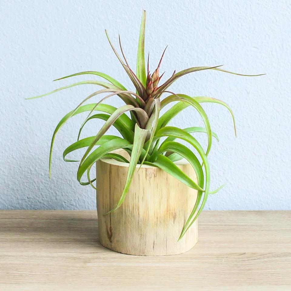 How to Care for Air Plants - Plant Instructions