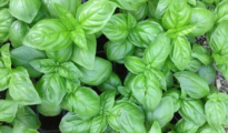 What is Genovese Basil & How to Grow It