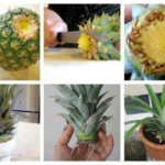 growing pineapple crown