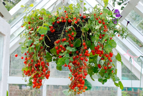 How to Grow Hanging Tomato Plants