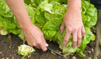 When to Harvest Lettuce & How to Do it Correctly