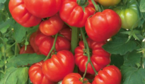 How to Grow Italian Heirloom Tomatoes