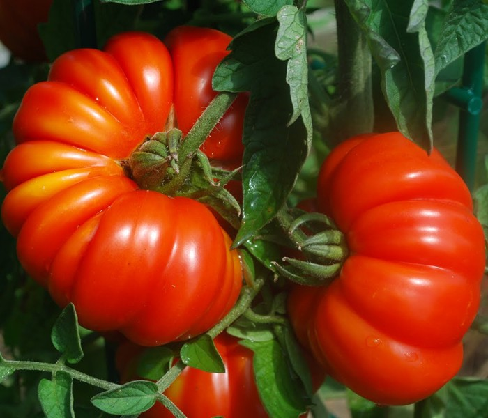 italian heirloom tomatoes