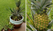 How to Grow A Pineapple In Your Home or Garden