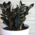 Raven ZZ Plant: The New, Stylish Plant You Need!