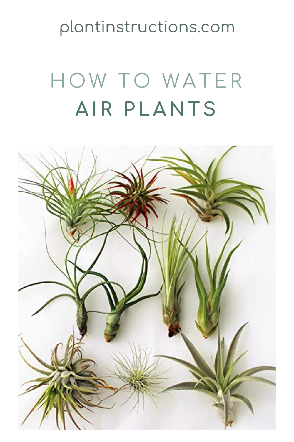 Not sure how to water air plants? In this easy to follow guide, we\'ll show you exactly the right way to watering air plants! If you don\'t have the greenest of thumbs, air plants are some of the best plants you can have in your home.