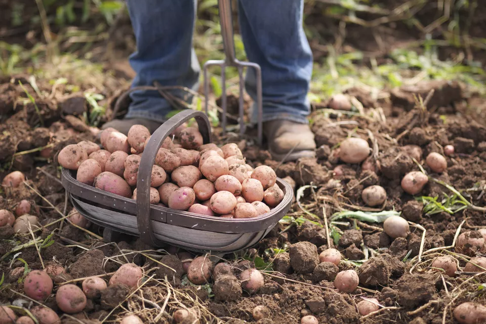 How to Plant Potatoes
