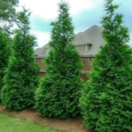 How to Plant Arborvitae Trees