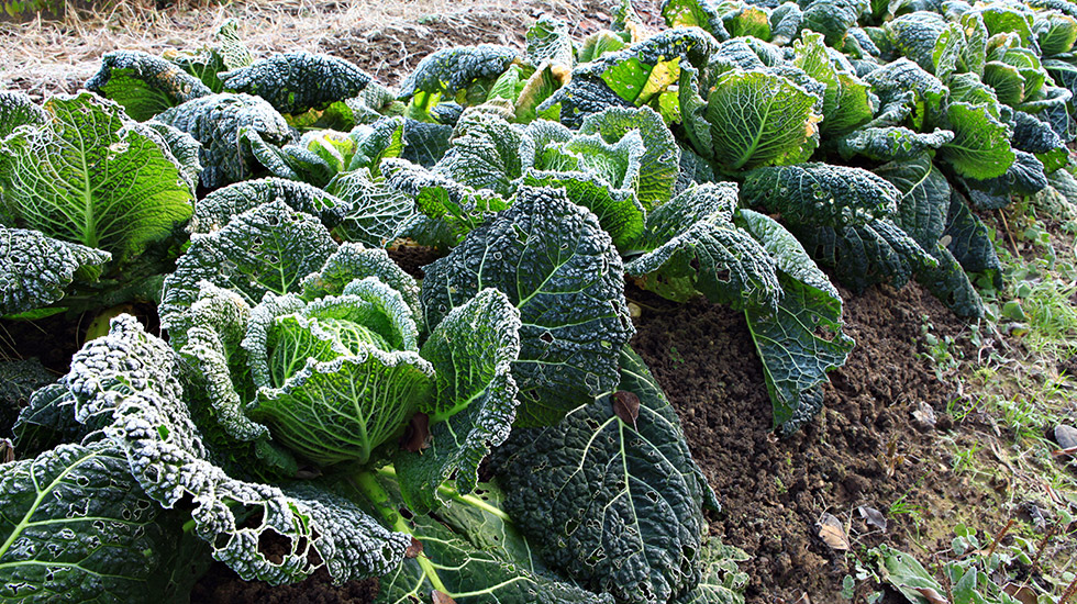 winter cabbage