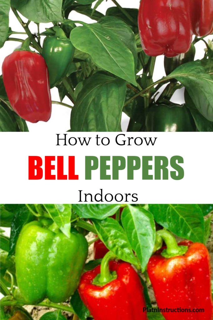 growing peppers indoors
