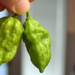 How to Grow Ghost Peppers Indoors
