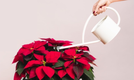How Often Do You Water Poinsettias? And Other Poinsettia Plant Care Tips