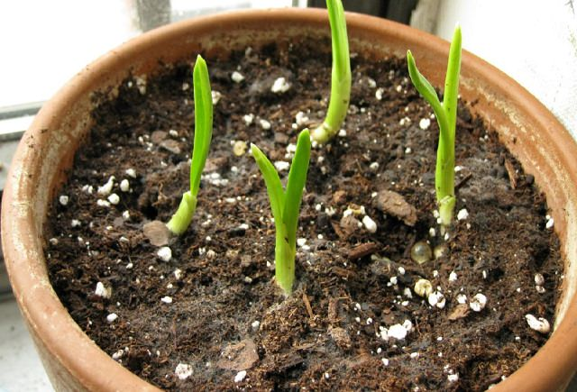 grow garlic indoors