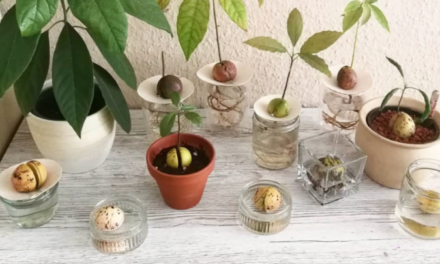 How to Grow Avocado Indoors