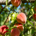 4 Low Maintenance Fruit Trees Anyone Can Grow