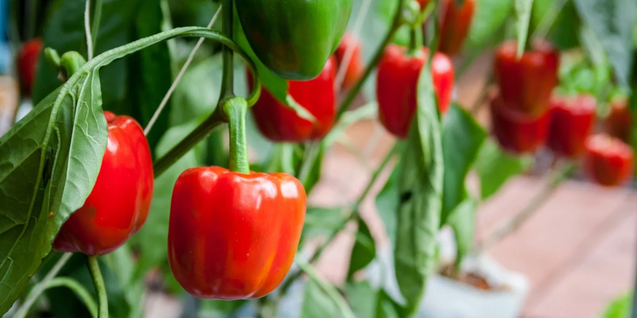 How to Grow Bell Peppers in a Pot